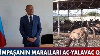 Alimpaşa Məmmədovun maralları ac qalıb - VİDEO