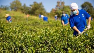 """Doğma çay """"Azerçay"""" çayçılıq sahəsinin inkişafına dəstək verməyə davam edir - FOTOLAR"""
