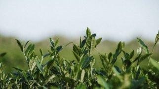 İnstitutdan Meşə Fondu torpaqlarında çay plantasiyasının salınmasına dair açıqlama